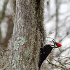 The female of a pair of Pileated Woodpeckers who live in Lake Martin